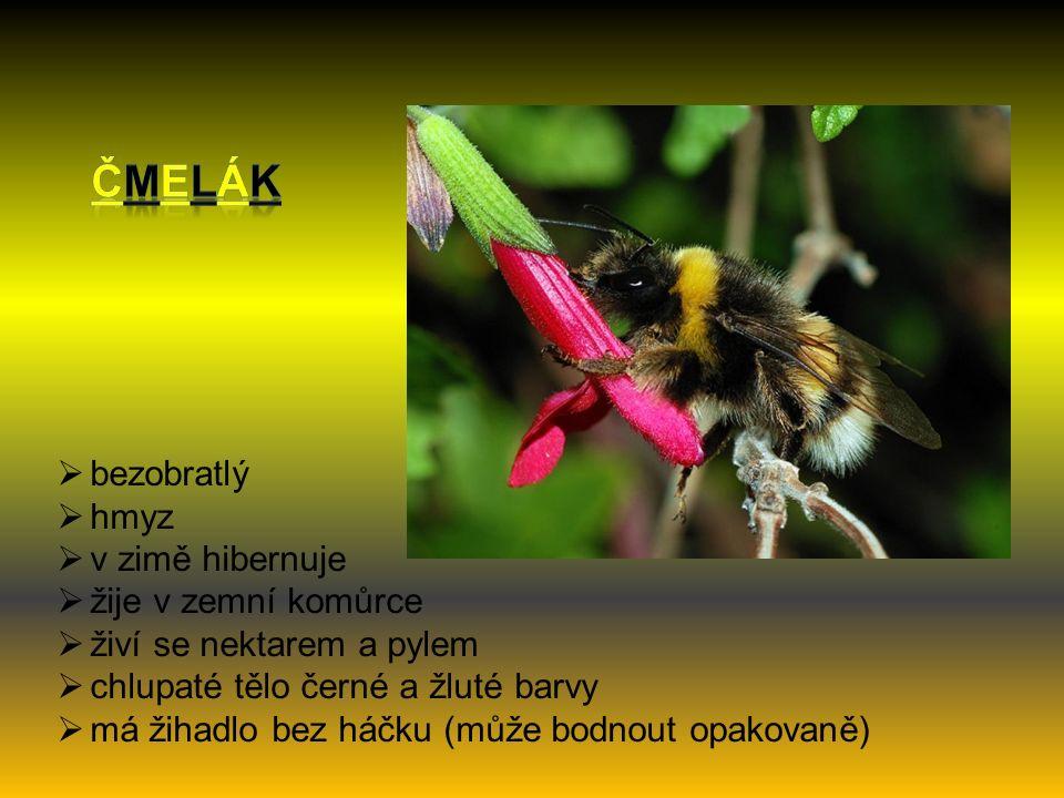  bezobratlý  hmyz  v zimě hibernuje  žije v zemní komůrce  živí se nektarem a pylem  chlupaté tělo černé a žluté barvy  má žihadlo bez háčku (může bodnout opakovaně)
