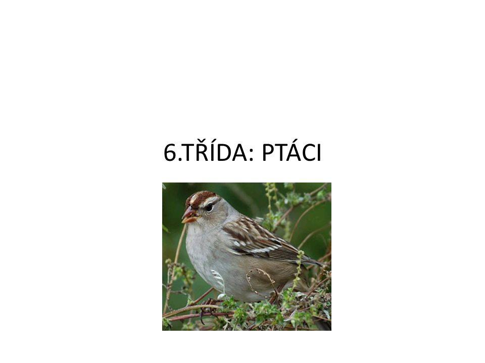 Vývoj ptáků Ptáci se vyvinuli z plazích předků Archeopteryx měl znaky plazů(=dlouhý ocas, drápy, zuby) a ptáků(=peří, křídla, sáňky, končetiny s běhákem) Byl to vyhynulý dinosaurus - ne přímý předek ptáků