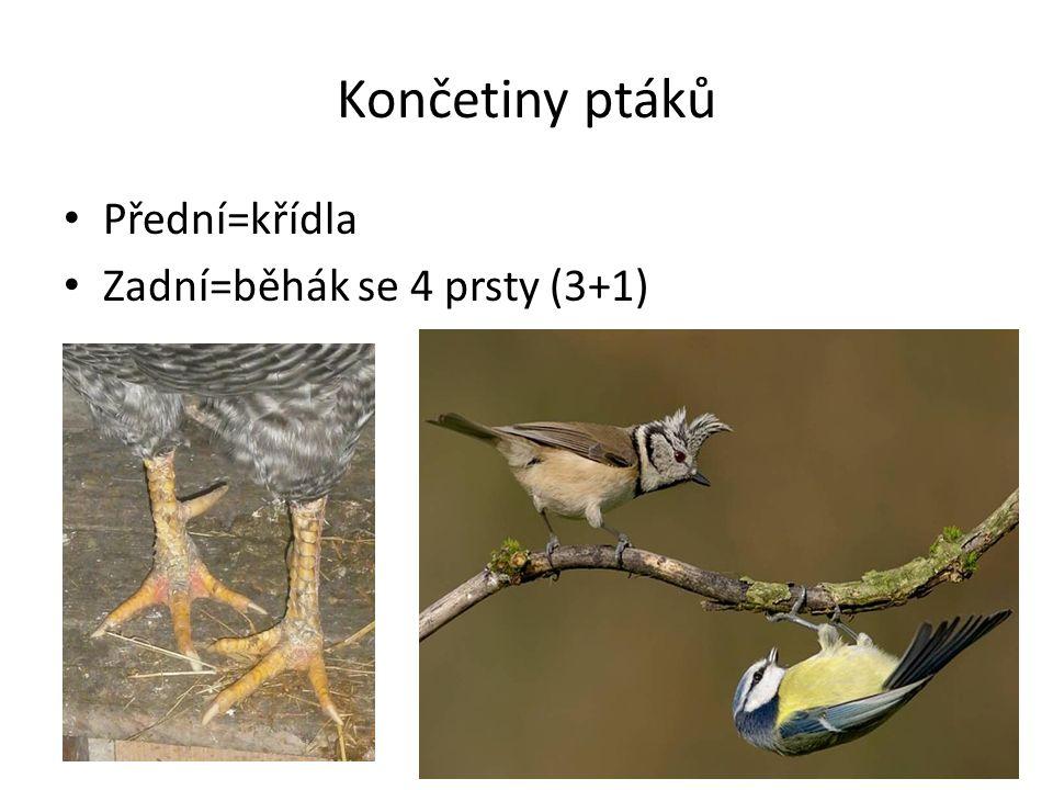 Končetiny ptáků Přední=křídla Zadní=běhák se 4 prsty (3+1)
