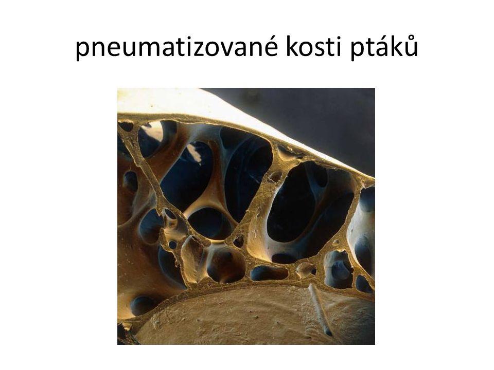 pneumatizované kosti ptáků