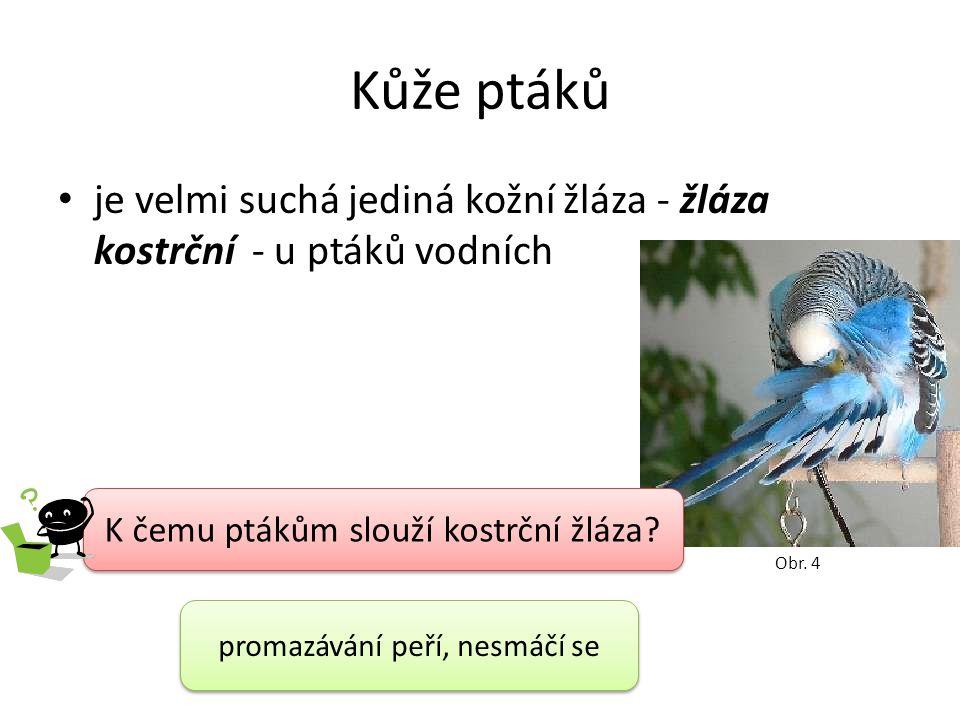 Kůže ptáků je velmi suchá jediná kožní žláza - žláza kostrční - u ptáků vodních K čemu ptákům slouží kostrční žláza.