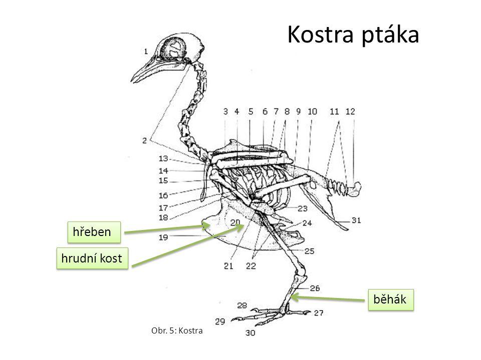 běhák hřeben hrudní kost Kostra ptáka