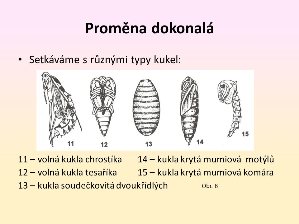 Proměna dokonalá Setkáváme s různými typy kukel: 11 – volná kukla chrostíka 14 – kukla krytá mumiová motýlů 12 – volná kukla tesaříka15 – kukla krytá