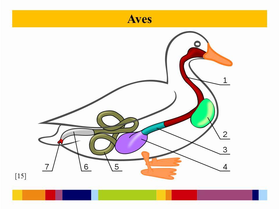 [15] Aves