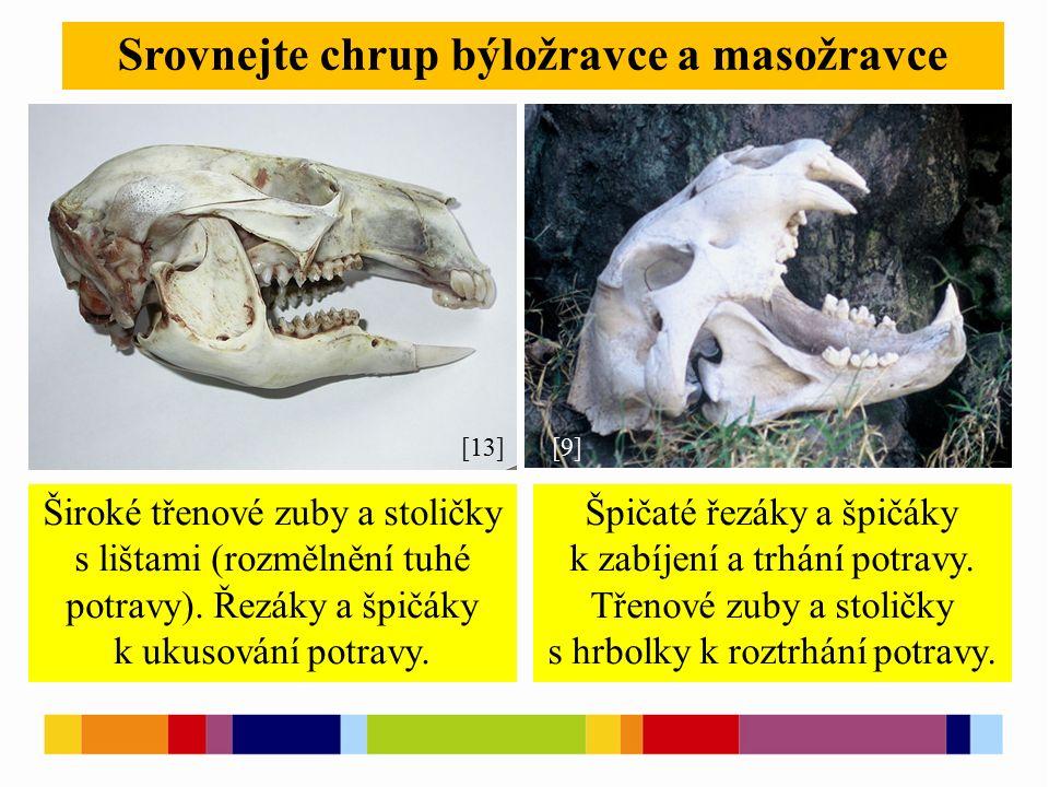 Srovnejte chrup býložravce a masožravce [13][9] Široké třenové zuby a stoličky s lištami (rozmělnění tuhé potravy).