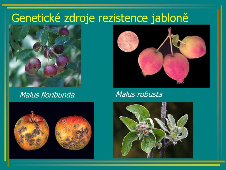 Genetické zdroje rezistence jabloně Malus floribunda Malus robusta