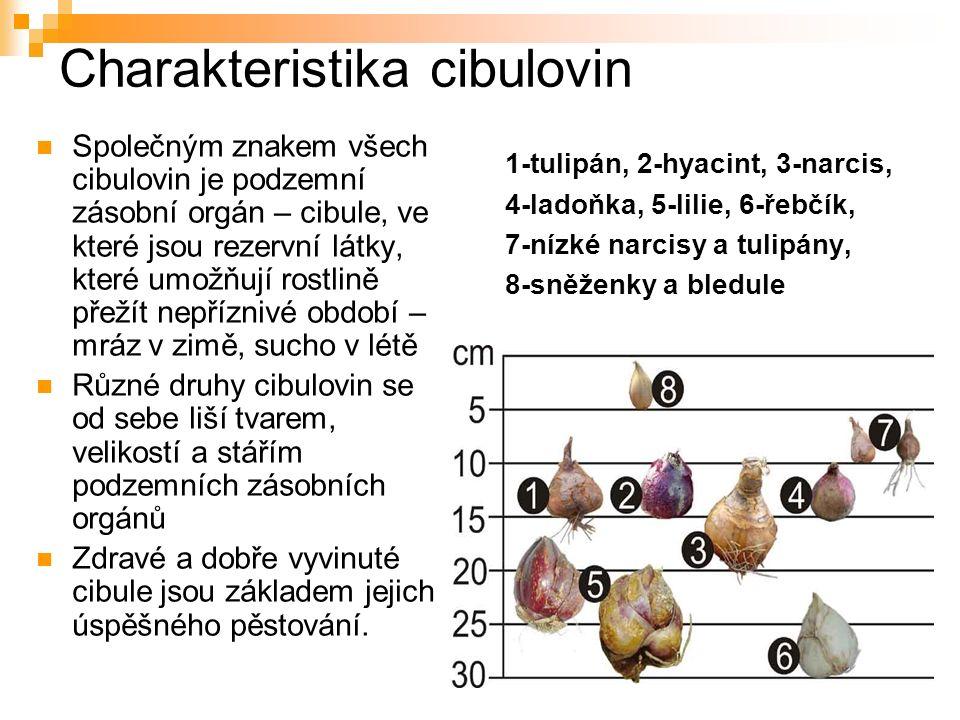 Charakteristika cibulovin Společným znakem všech cibulovin je podzemní zásobní orgán – cibule, ve které jsou rezervní látky, které umožňují rostlině přežít nepříznivé období – mráz v zimě, sucho v létě Různé druhy cibulovin se od sebe liší tvarem, velikostí a stářím podzemních zásobních orgánů Zdravé a dobře vyvinuté cibule jsou základem jejich úspěšného pěstování.