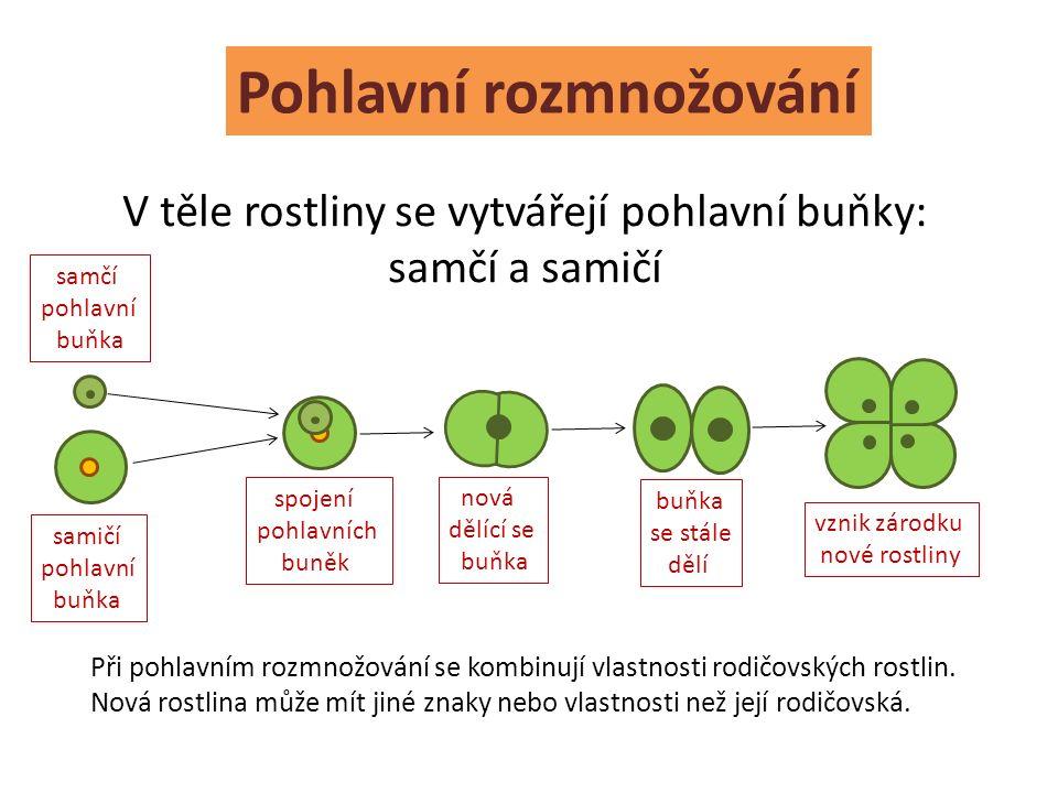 Pohlavní rozmnožování V těle rostliny se vytvářejí pohlavní buňky: samčí a samičí samčí pohlavní buňka samičí pohlavní buňka spojení pohlavních buněk nová dělící se buňka buňka se stále dělí vznik zárodku nové rostliny Při pohlavním rozmnožování se kombinují vlastnosti rodičovských rostlin.