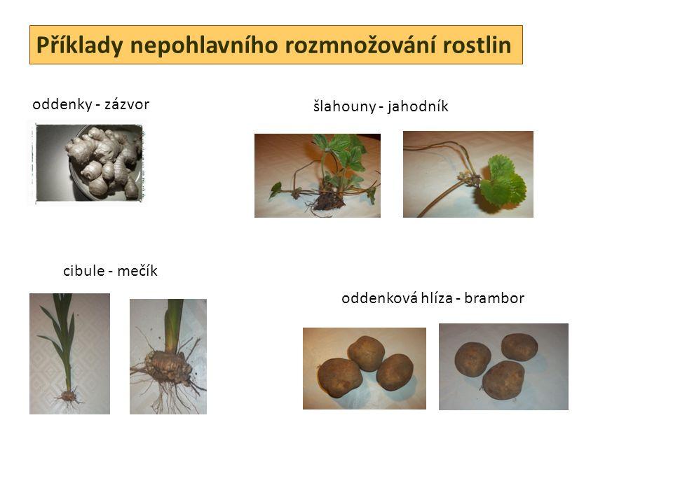Příklady nepohlavního rozmnožování rostlin oddenky - zázvor šlahouny - jahodník cibule - mečík oddenková hlíza - brambor