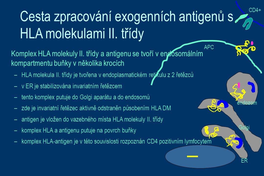 Cesta zpracování exogenních antigenů s HLA molekulami II.