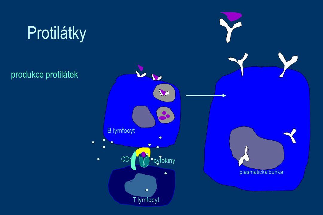 Protilátky produkce protilátek CD4 T lymfocyt B lymfocyt plasmatická buňka cytokiny