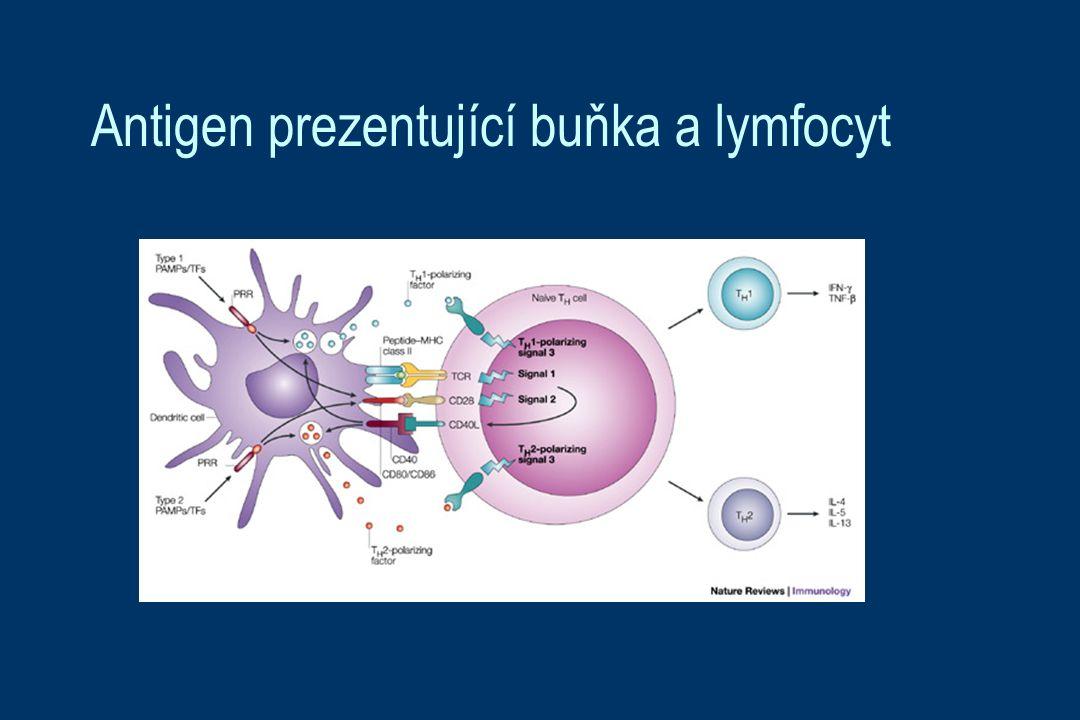 Antigen prezentující buňka a lymfocyt