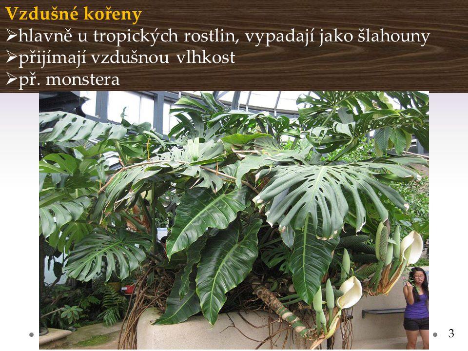 Gymnázium a Jazyková škola s právem státní jazykové zkoušky Svitavy Vzdušné kořeny  hlavně u tropických rostlin, vypadají jako šlahouny  přijímají vzdušnou vlhkost  př.
