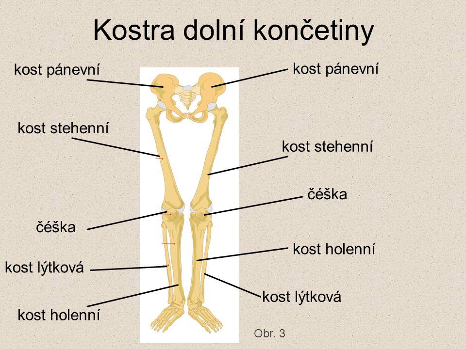 Kostra dolní končetiny kost pánevní kost stehenní čéška kost holenní kost lýtková Obr. 3
