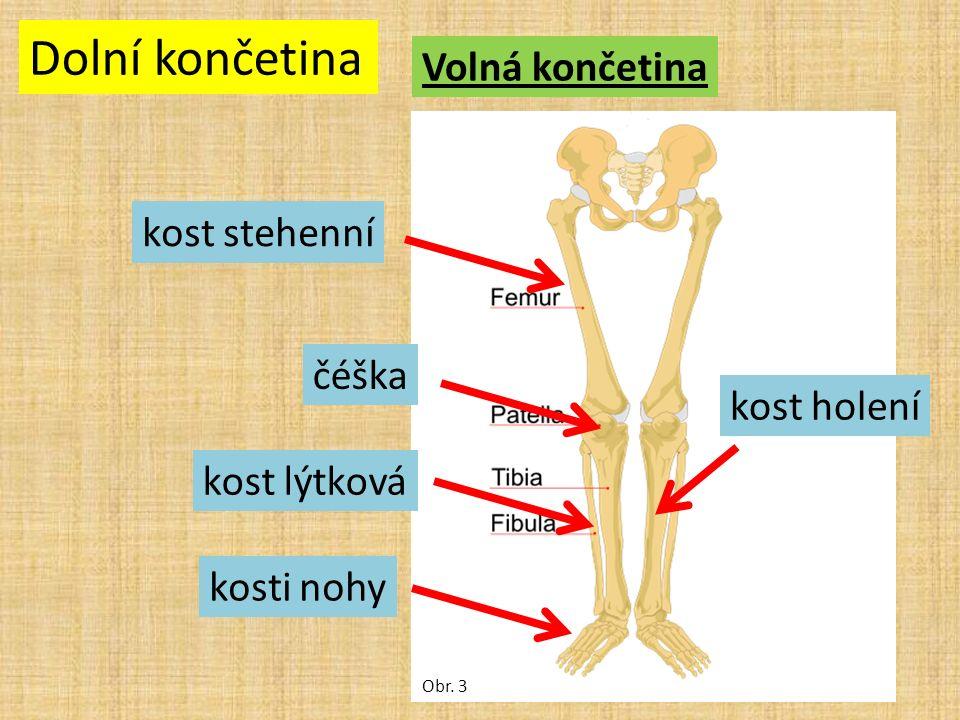 Dolní končetina Volná končetina Obr. 3 kost stehenní čéška kost lýtková kost holení kosti nohy