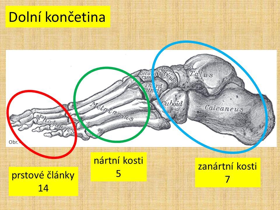 Obr. 4 Dolní končetina prstové články 14 nártní kosti 5 zanártní kosti 7