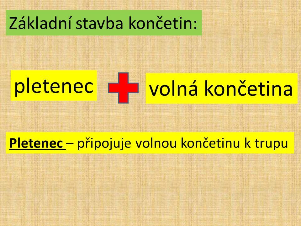 Základní stavba končetin: pletenec volná končetina Pletenec – připojuje volnou končetinu k trupu