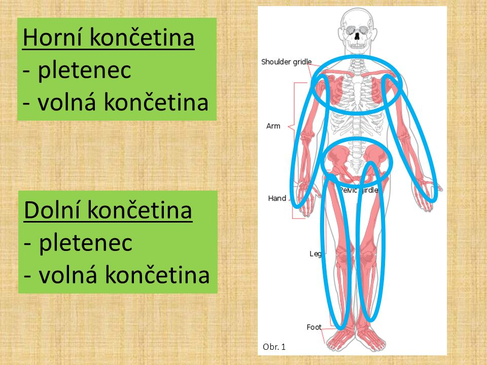 Obr. 1 Horní končetina -pletenec -volná končetina Dolní končetina -pletenec -volná končetina
