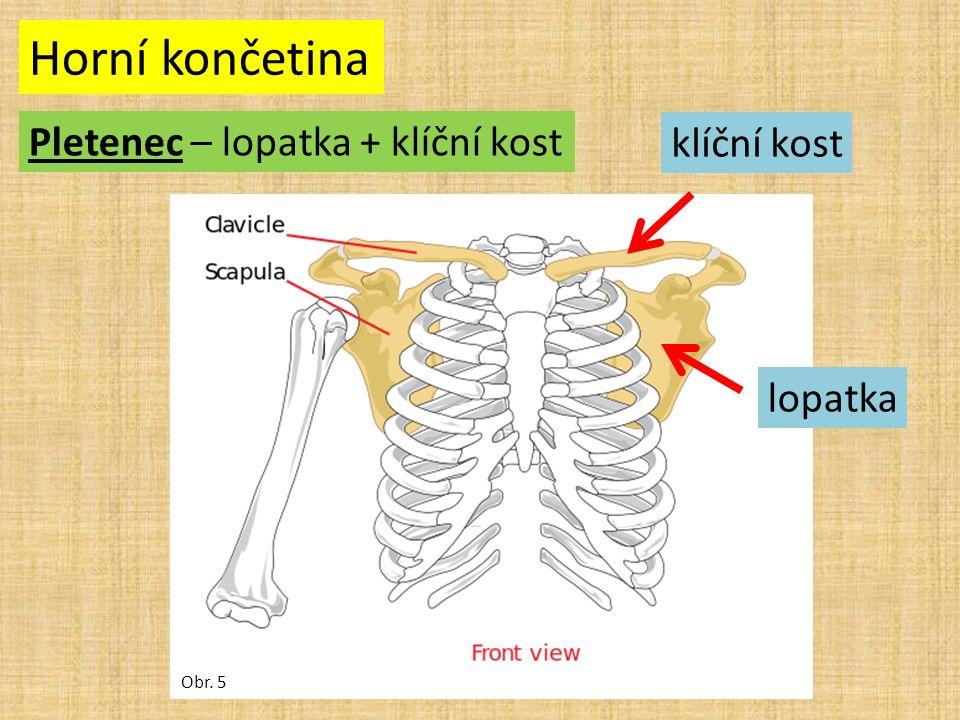 Horní končetina Pletenec – lopatka + klíční kost Obr. 5 klíční kost lopatka