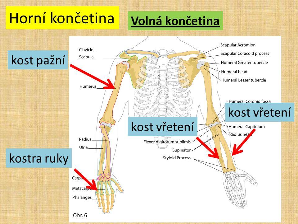 Horní končetina Volná končetina Obr. 6 kost pažní kost vřetení kostra ruky