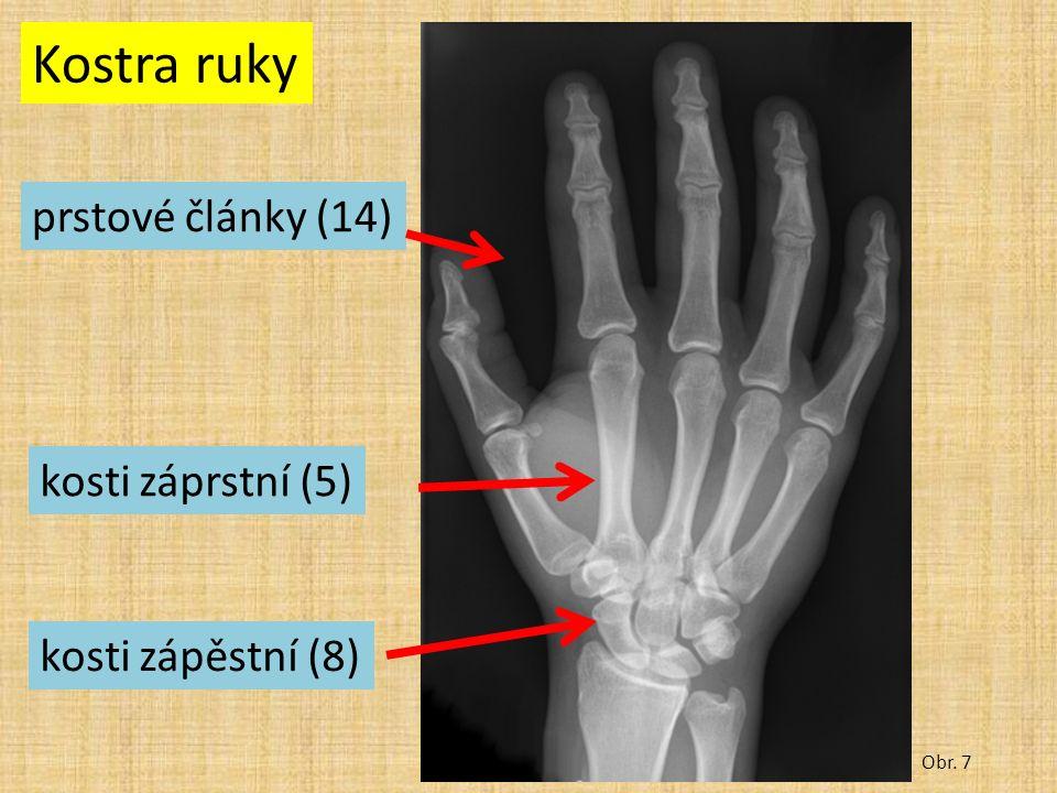 Kostra ruky Obr. 7 prstové články (14) kosti záprstní (5) kosti zápěstní (8)