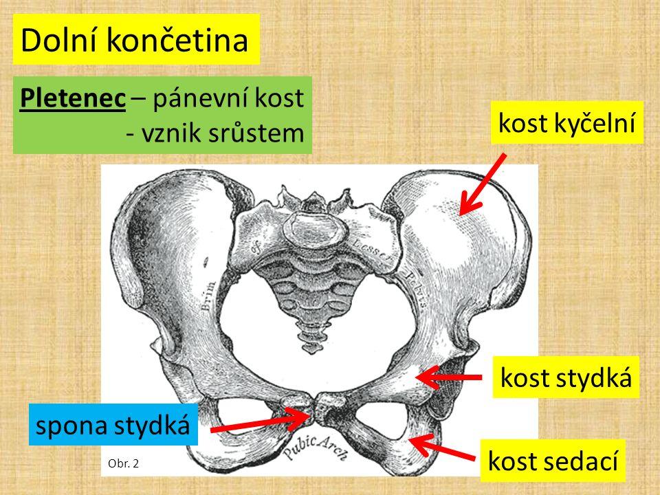 Dolní končetina Pletenec – pánevní kost - vznik srůstem Obr.