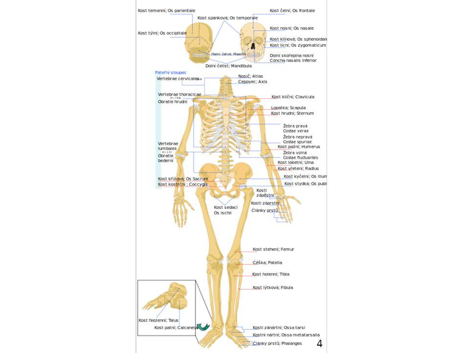 kostru člověka tvoří osová kostra a kostra horní a dolní končetiny osová kostra sestává z kostry hlavy a kostry trupu kostra hlavy se skládá z mozkové části, kterou tvoří celkem osm kostí, a obličejové části tvořené 15 kostmi, mozková část je u člověka větší než obličejová mozková část lebky chrání mozek, její horní část tvoří kost čelní a dvě kosti temenní, kosti týlní, klínová a dvě kosti spánkové vytvářejí tzv.