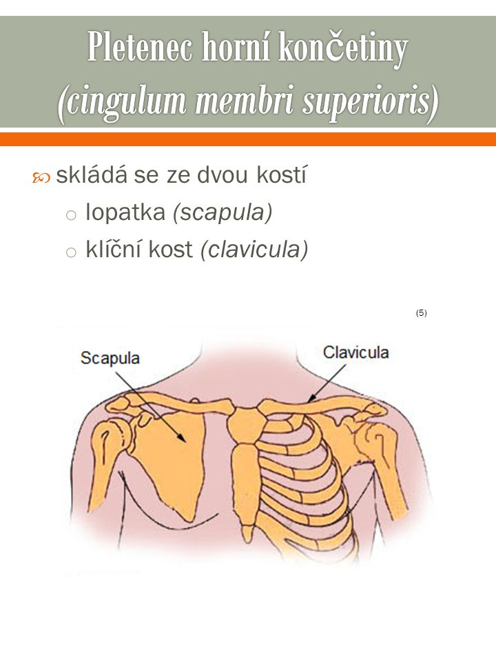  skládá se ze dvou kostí o lopatka (scapula) o klíční kost (clavicula) (5)