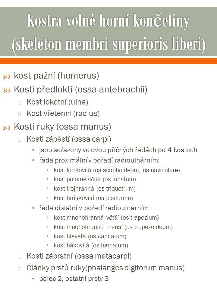  kost pažní (humerus)  Kosti předloktí (ossa antebrachii) o Kost loketní (ulna) o Kost vřetenní (radius)  Kosti ruky (ossa manus) o Kosti zápěstí (ossa carpi) jsou seřazeny ve dvou příčných řadách po 4 kostech řada proximální v pořadí radioulnárním: kost loďkovitá (os scaphoideum, os naviculare) kost poloměsíčitá (os lunatum) kost trojhranná (os triquetrum) kost hráškovitá (os pisiforme) řada distální v pořadí radioulnárním: kost mnohohranná větší (os trapezium) kost mnohohranná menší (os trapezoideum) kost hlavatá (os capitatum) kost hákovitá (os hamatum) o Kosti záprstní (ossa metacarpi) o Články prstů ruky(phalanges digitorum manus) palec 2, ostatní prsty 3