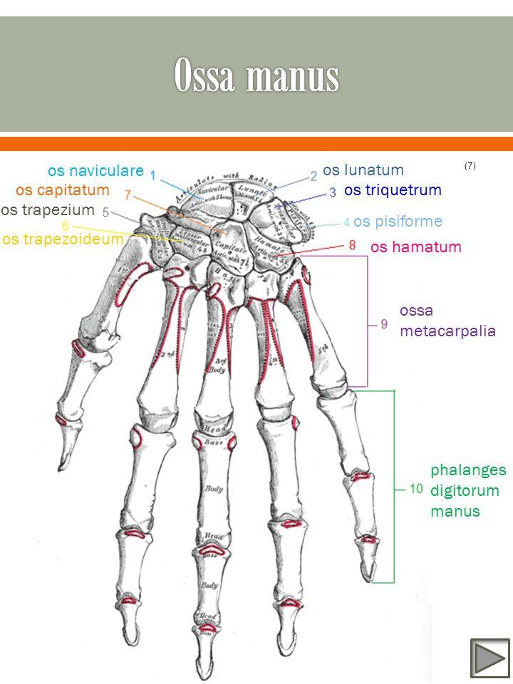 os naviculare os lunatum os triquetrum os pisiforme os trapezium os trapezoideum os capitatum os hamatum ossa metacarpalia phalanges digitorum manus (