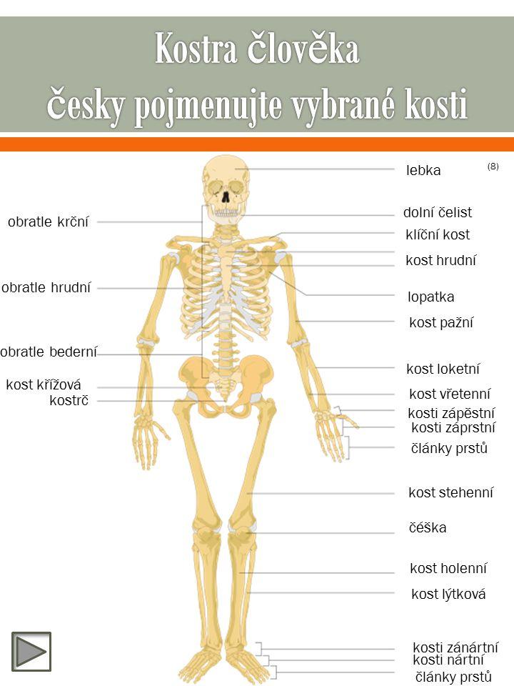 lebka dolní čelist obratle krční obratle hrudní obratle bederní kost křížová kostrč klíční kost kost hrudní lopatka kost pažní kost loketní kost vřetenní kosti zápěstní kosti záprstní články prstů kost stehenní čéška kost holenní kost lýtková kosti zánártní kosti nártní články prstů (8)