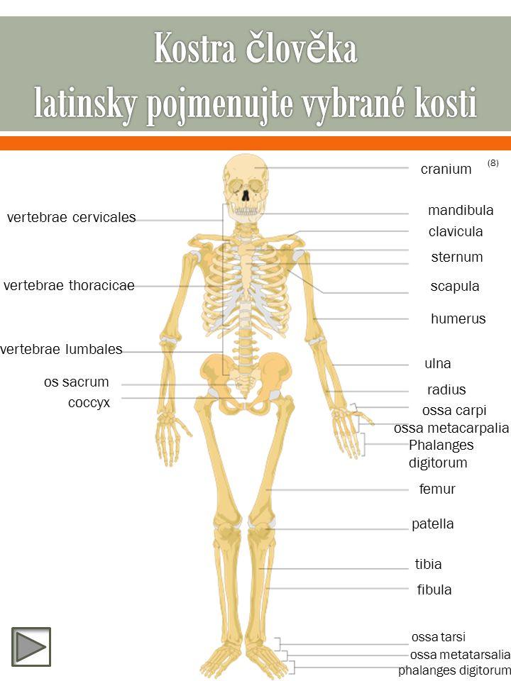 cranium mandibula vertebrae cervicales vertebrae thoracicae vertebrae lumbales os sacrum coccyx clavicula sternum scapula humerus ulna radius ossa carpi ossa metacarpalia Phalanges digitorum femur patella tibia fibula ossa tarsi ossa metatarsalia phalanges digitorum (8)