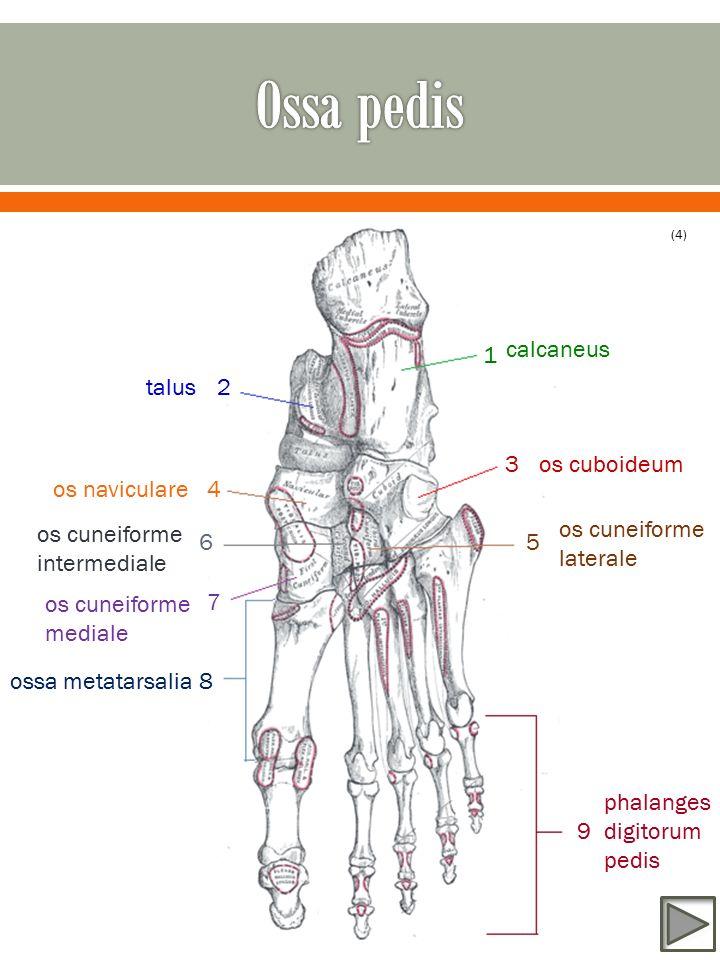 calcaneus 1 3 2 4 56 7 8 9 talus os naviculare os cuboideum os cuneiforme laterale os cuneiforme intermediale os cuneiforme mediale ossa metatarsalia