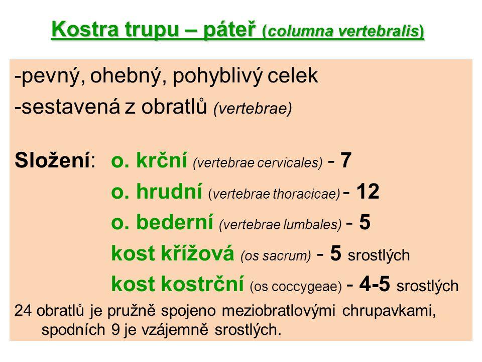Kostra trupu – páteř (columna vertebralis) Ze strany je páteř typicky zakřivena: lordóza (krční a bederní) = prohnutí dopředu kyfóza (hrudní a křížová) = prohnutí dozadu Skolióza = vychýlení páteře do strany.