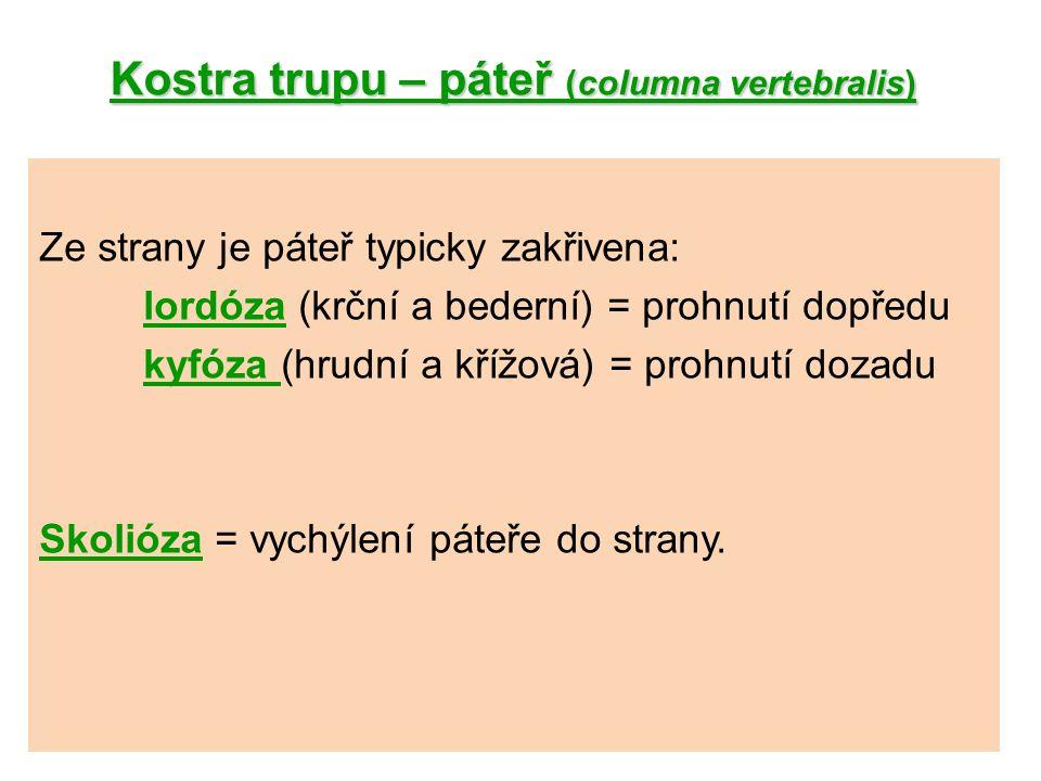 Kostra trupu – páteř (columna vertebralis).