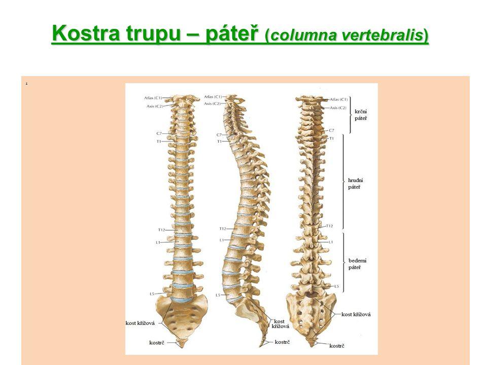 Kostra trupu – žebra, hrudní kost žebra(costae) -obloukovité kosti, jejich zadní konce se připojují k obratlům -přední konce prvních 7 párů (žebra pravá) se připojují chrupavkou k hrudní kosti -3 páry se připojují chrupavkami na chrupavky předcházejících (žebra nepravá) -2 páry (žebra volná) končí chrupavkami ve svalové břišní stěně Hrudní kost(sternum) – rukojeť, tělo mečovitý výběžek