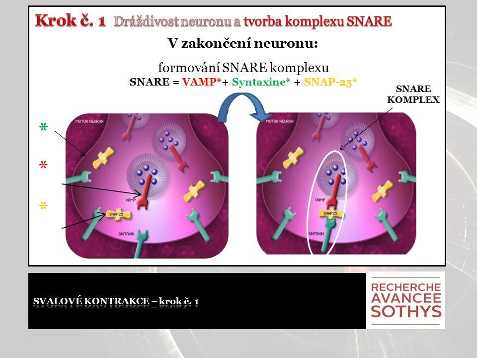 V zakončení neuronu: formování SNARE komplexu SNARE = VAMP*+ Syntaxine* + SNAP-25* * * * SNARE KOMPLEX