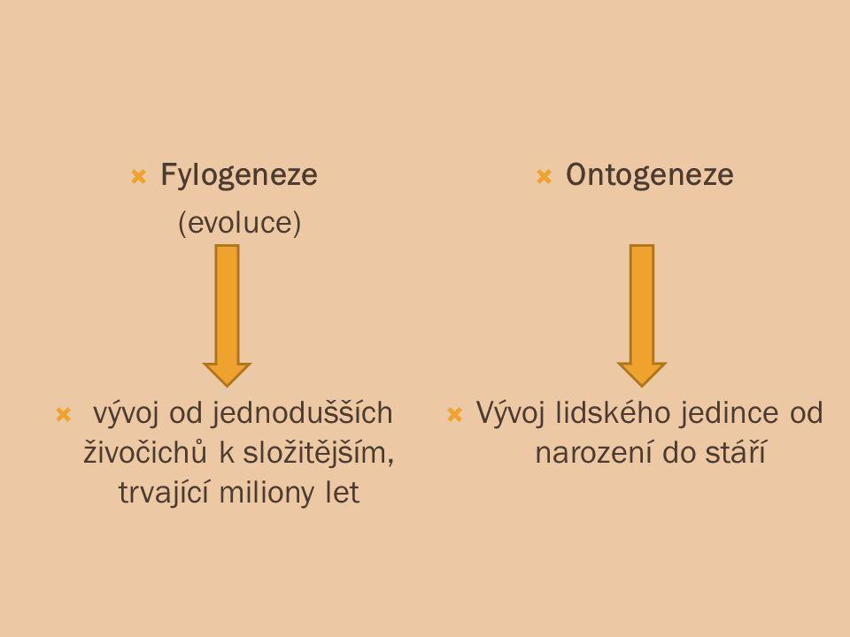  Fylogeneze (evoluce)  vývoj od jednodušších živočichů k složitějším, trvající miliony let  Ontogeneze  Vývoj lidského jedince od narození do stáří