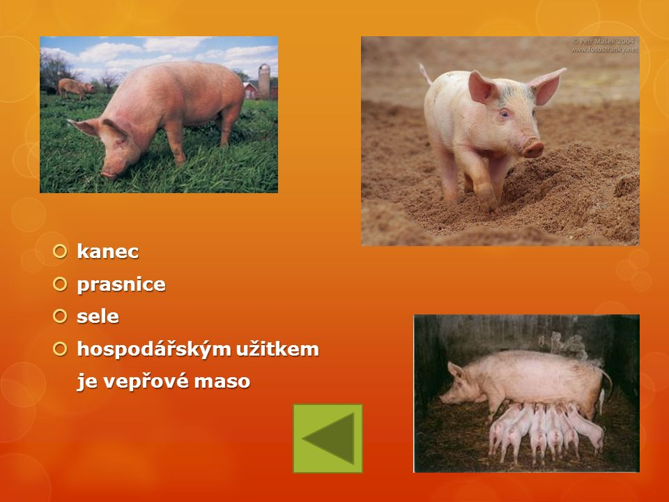  kanec  prasnice  sele  hospodářským užitkem je vepřové maso je vepřové maso