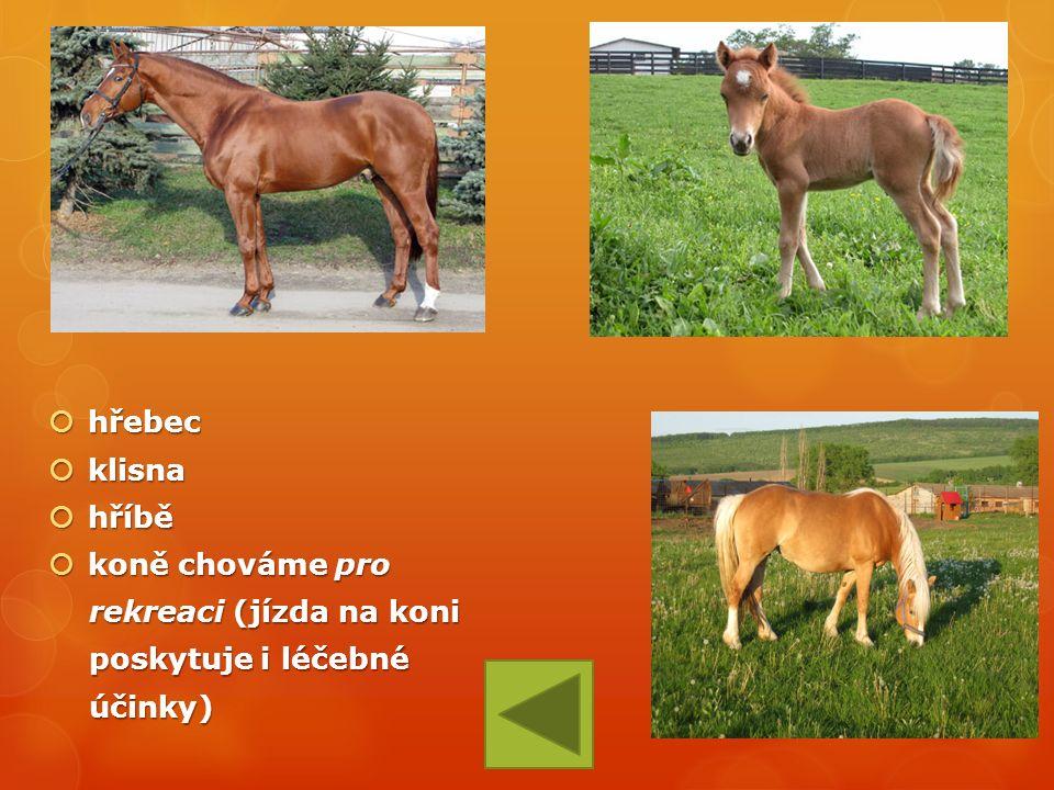  hřebec  klisna  hříbě  koně chováme pro rekreaci (jízda na koni rekreaci (jízda na koni poskytuje i léčebné poskytuje i léčebné účinky) účinky)