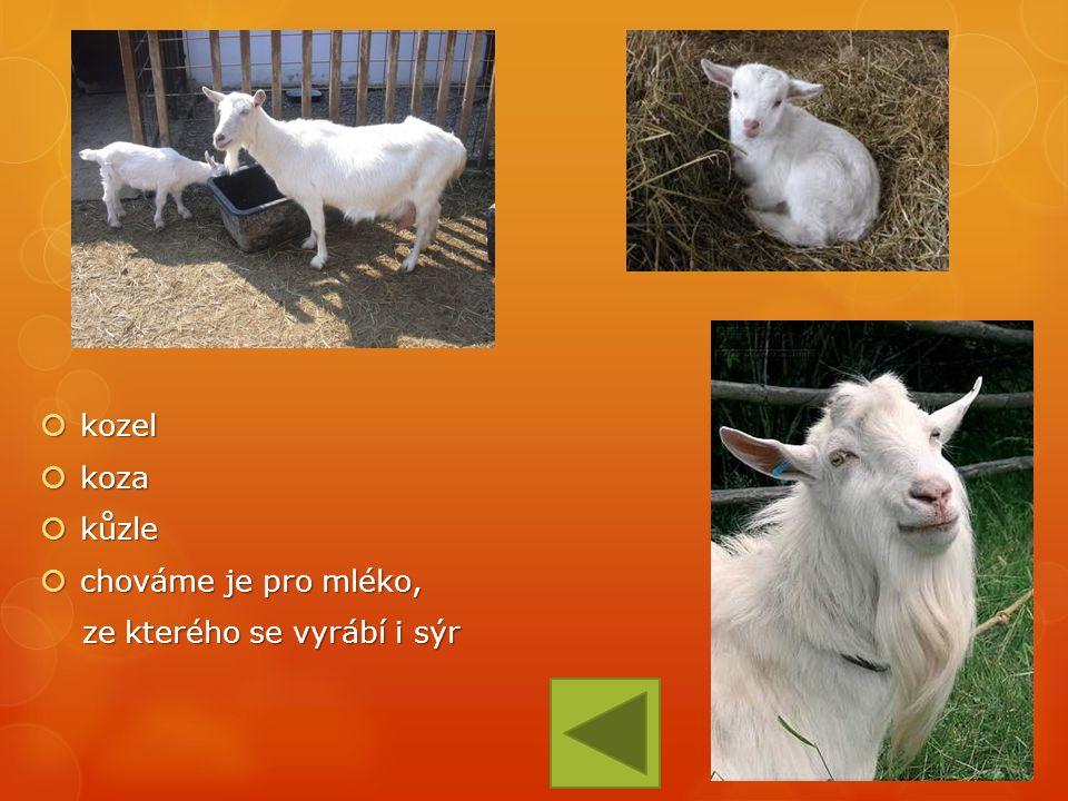  kozel  koza  kůzle  chováme je pro mléko, ze kterého se vyrábí i sýr ze kterého se vyrábí i sýr