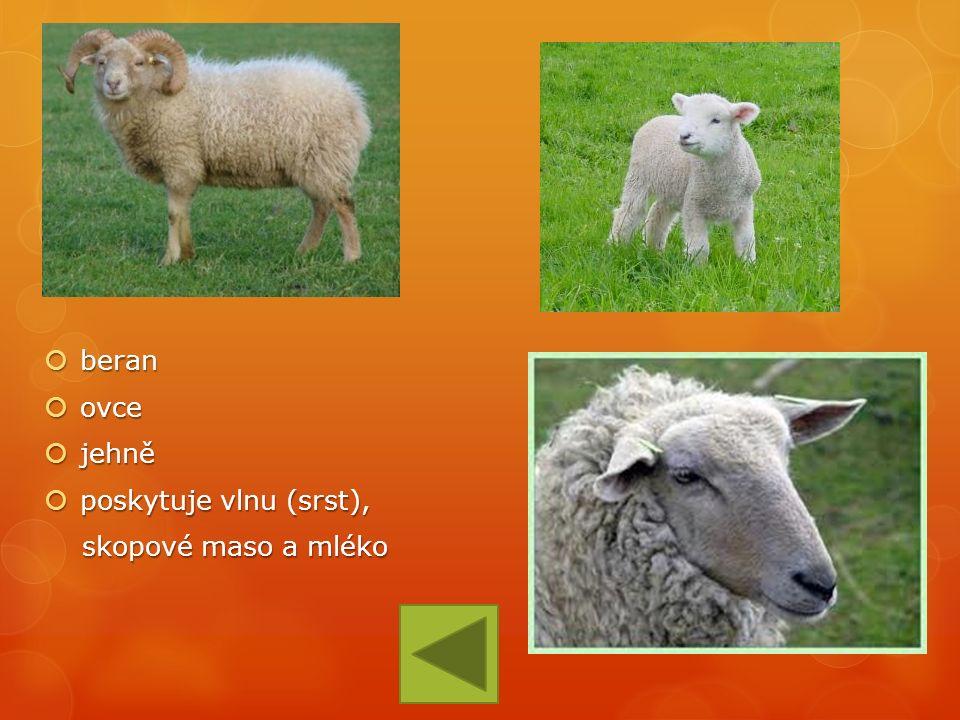  beran  ovce  jehně  poskytuje vlnu (srst), skopové maso a mléko skopové maso a mléko