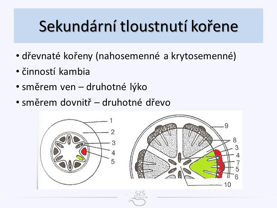 Sekundární tloustnutí kořene dřevnaté kořeny (nahosemenné a krytosemenné) činností kambia směrem ven – druhotné lýko směrem dovnitř – druhotné dřevo