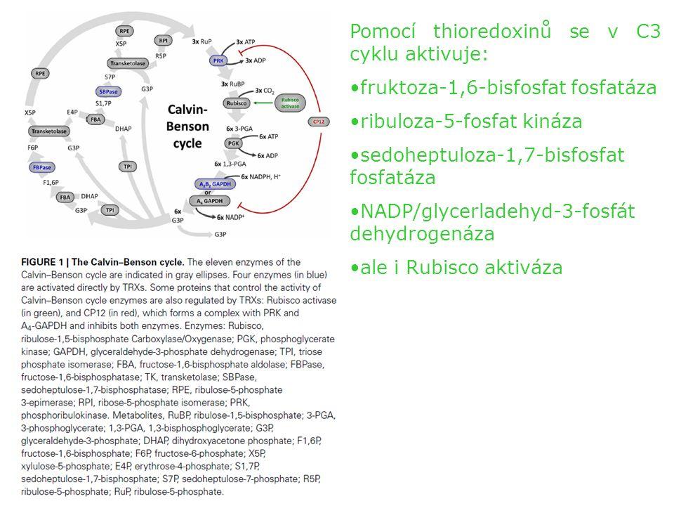 Pomocí thioredoxinů se v C3 cyklu aktivuje: fruktoza-1,6-bisfosfat fosfatáza ribuloza-5-fosfat kináza sedoheptuloza-1,7-bisfosfat fosfatáza NADP/glycerladehyd-3-fosfát dehydrogenáza ale i Rubisco aktiváza