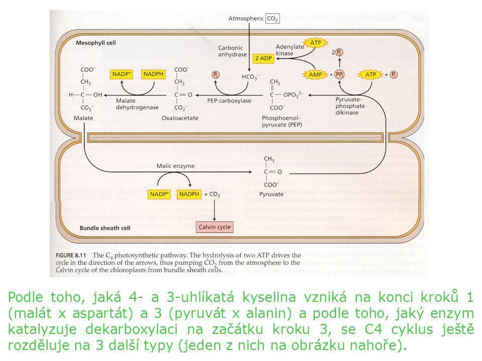 Podle toho, jaká 4- a 3-uhlíkatá kyselina vzniká na konci kroků 1 (malát x aspartát) a 3 (pyruvát x alanin) a podle toho, jaký enzym katalyzuje dekarboxylaci na začátku kroku 3, se C4 cyklus ještě rozděluje na 3 další typy (jeden z nich na obrázku nahoře).