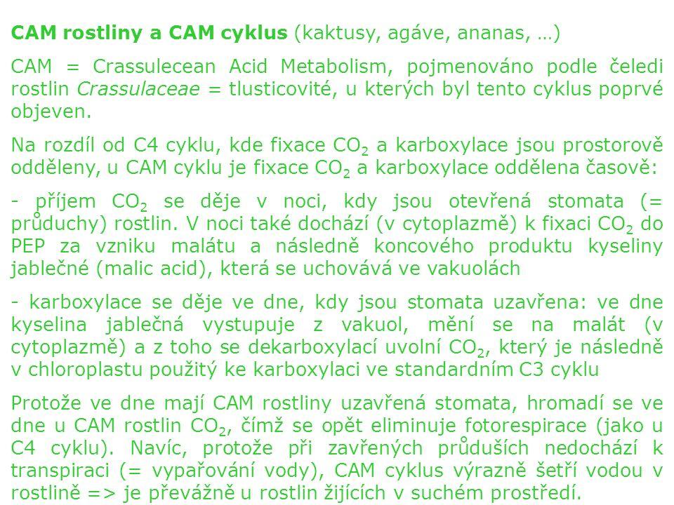 CAM rostliny a CAM cyklus (kaktusy, agáve, ananas, …) CAM = Crassulecean Acid Metabolism, pojmenováno podle čeledi rostlin Crassulaceae = tlusticovité, u kterých byl tento cyklus poprvé objeven.