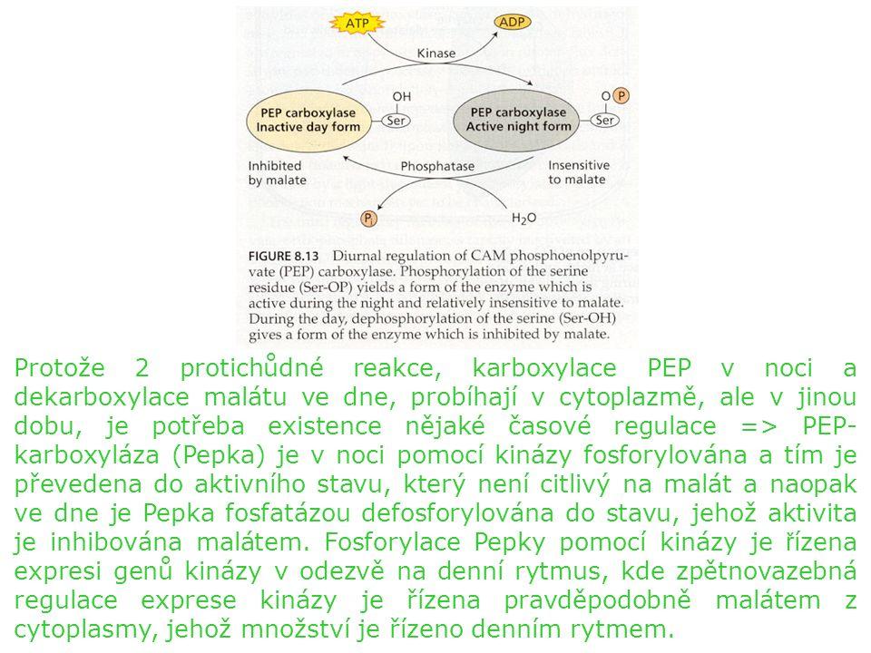 Protože 2 protichůdné reakce, karboxylace PEP v noci a dekarboxylace malátu ve dne, probíhají v cytoplazmě, ale v jinou dobu, je potřeba existence nějaké časové regulace => PEP- karboxyláza (Pepka) je v noci pomocí kinázy fosforylována a tím je převedena do aktivního stavu, který není citlivý na malát a naopak ve dne je Pepka fosfatázou defosforylována do stavu, jehož aktivita je inhibována malátem.