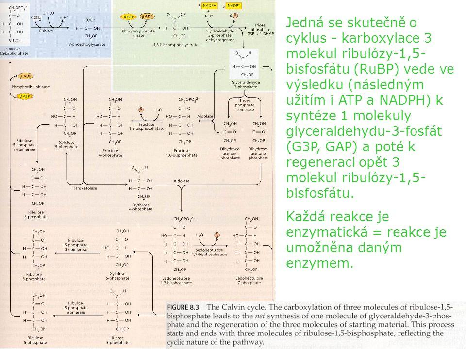 Klíčový enzym cyklu je enzym umožňující karboxylaci 1 molekuly RuBP na 2 molekuly 3-fosfoglycerátu (PGA), nazývaný ribulózy- 1,5-bisfosfát karboxyláza/oxygenáza (Rubisco).