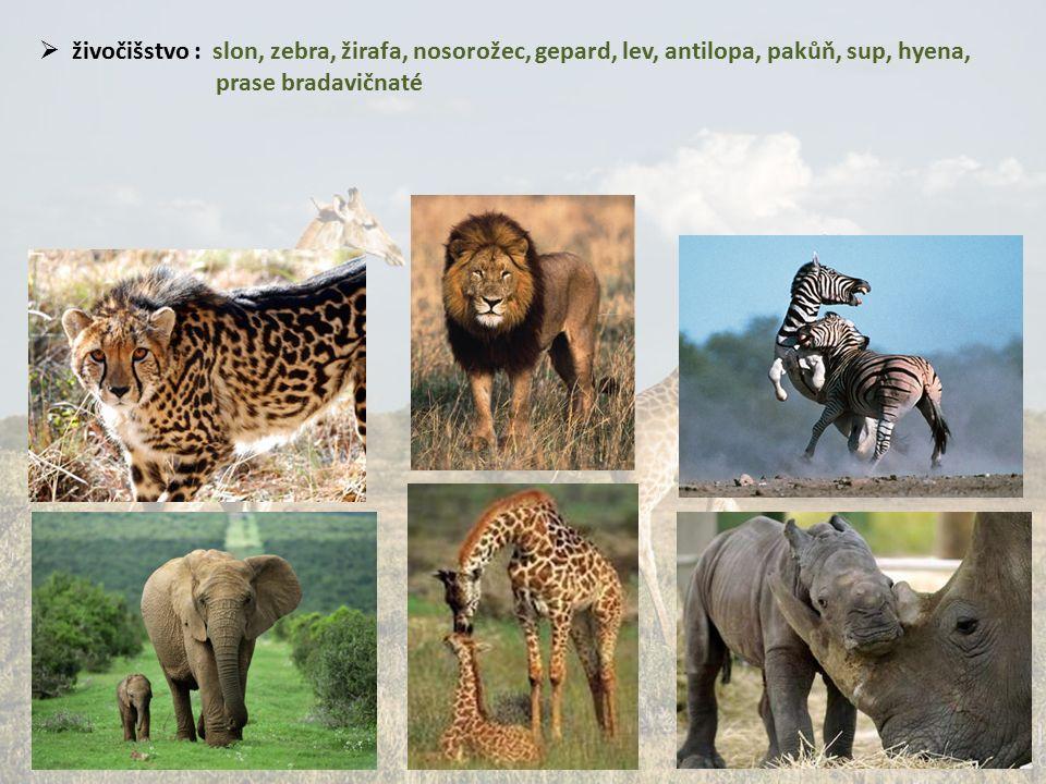  živočišstvo : slon, zebra, žirafa, nosorožec, gepard, lev, antilopa, pakůň, sup, hyena, prase bradavičnaté