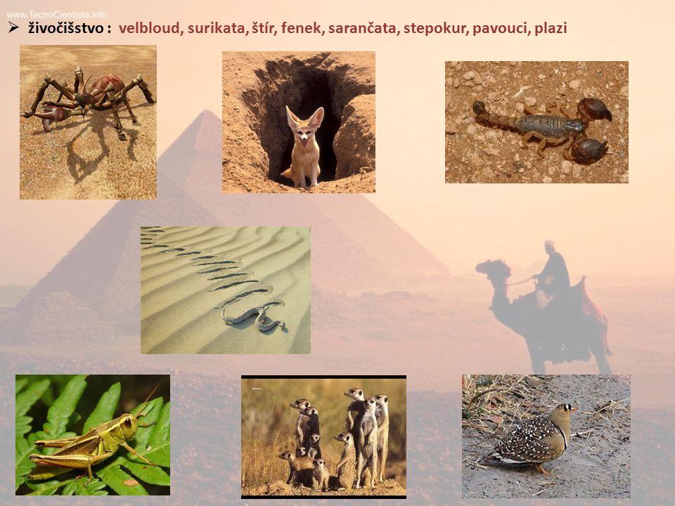  živočišstvo : velbloud, surikata, štír, fenek, sarančata, stepokur, pavouci, plazi